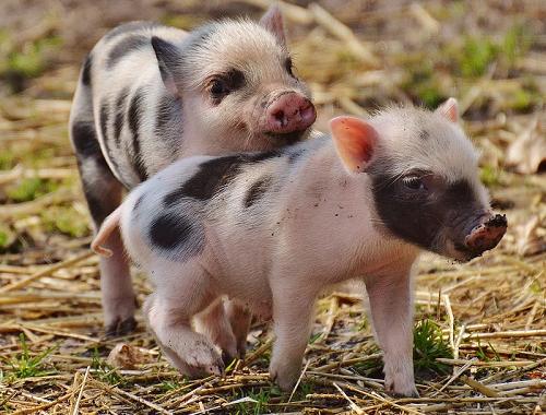 2020年5月15日全国猪价一览表