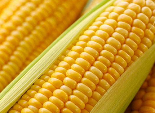 2020年5月20日全国玉米价格一览表