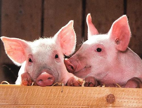 5月25日全国生猪价格表