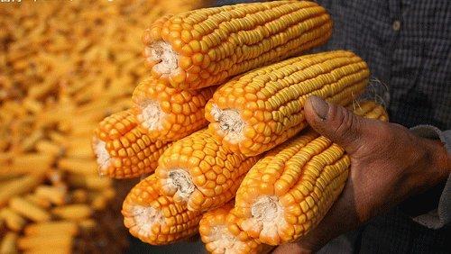 9月12日玉米价格最新行情