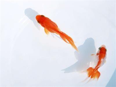 漂亮的金鱼,是由什么鱼演变而来的
